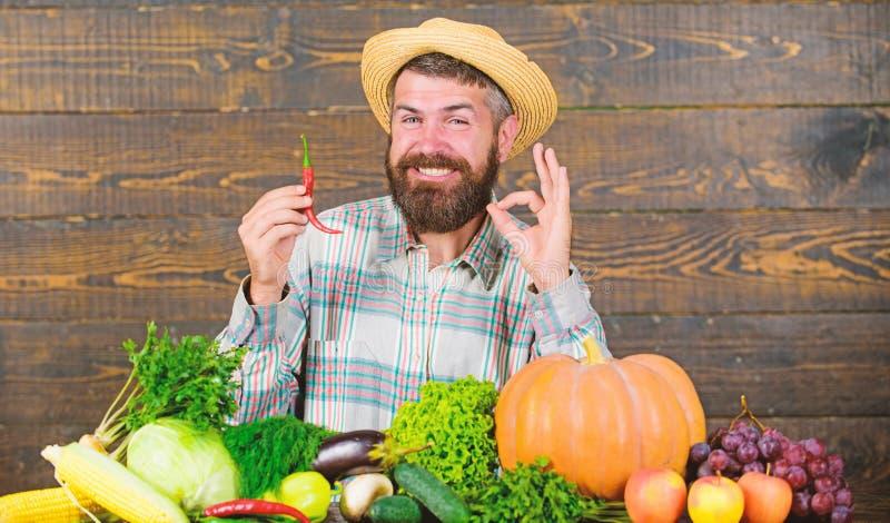 Έννοια συγκομιδών πιπεριών Ο αγροτικός αγρότης στο καπέλο αχύρου συμπαθεί το πικάντικο γούστο Γενειοφόρος λαβή αγροτών συγκομιδών στοκ εικόνες με δικαίωμα ελεύθερης χρήσης