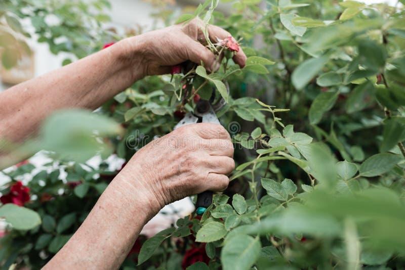 Έννοια της κηπουρικής - κηπουρός σε ηλιόλουστο κήπο φύτεψε κόκκινα τριαντάφυλλα Ηλικιωμένη 80 ετών που εργάζεται στον κήπο στοκ φωτογραφία