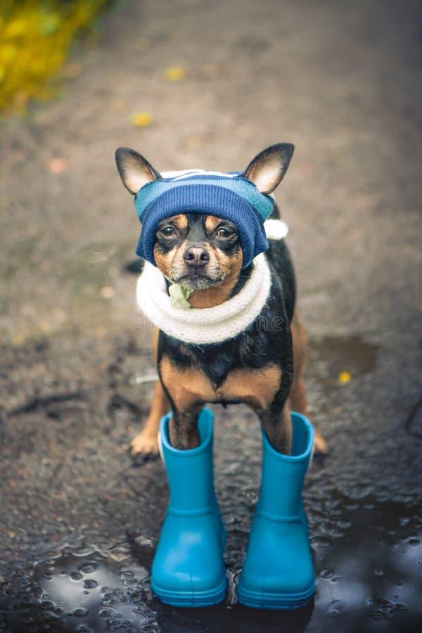 Έννοια του φθινοπώρου και της βροχής, του αστείου σκυλιού σε ένα μπλε καπέλο και των λαστιχένιων μποτών που φαίνονται ανοδικών, στοκ φωτογραφία