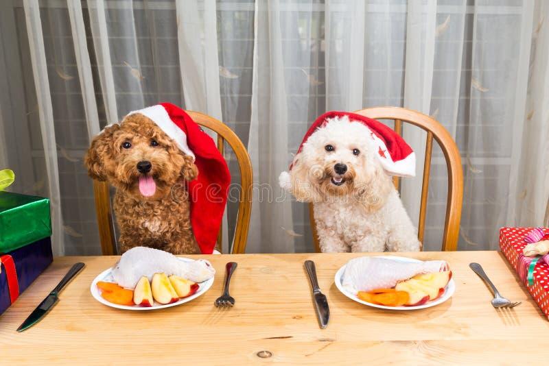 Έννοια των συγκινημένων σκυλιών στο καπέλο Santa που έχει το εύγευστο ακατέργαστο κρέας Γ στοκ φωτογραφία με δικαίωμα ελεύθερης χρήσης