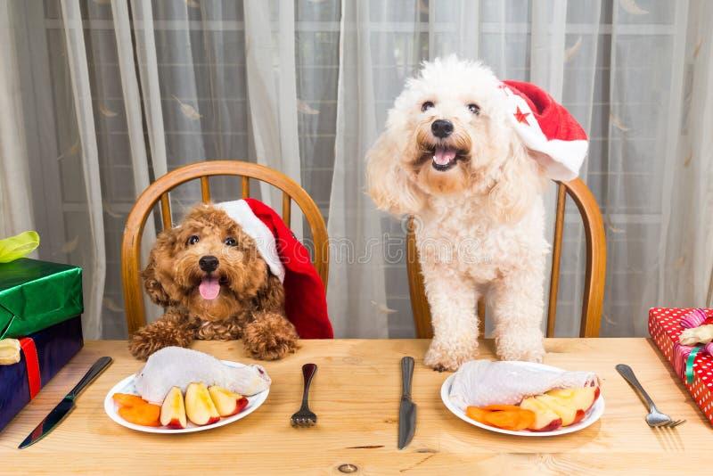 Έννοια των συγκινημένων σκυλιών στο καπέλο Santa που έχει το εύγευστο ακατέργαστο κρέας Γ στοκ φωτογραφία