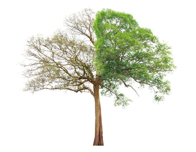 Έννοια doubleness Νεκρό δέντρο σε ένα δέντρο πλευράς και διαβίωσης στη διαφορετική πλευρά στοκ εικόνες