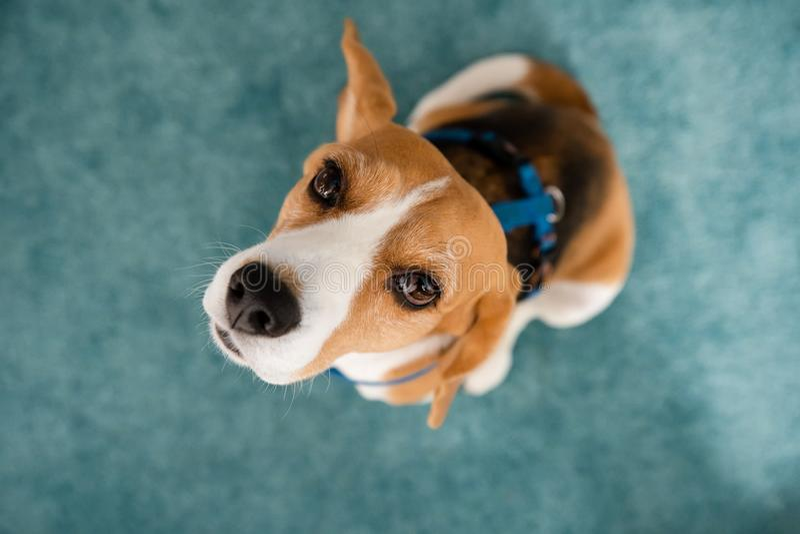 Ένοχο σκυλί στοκ φωτογραφία