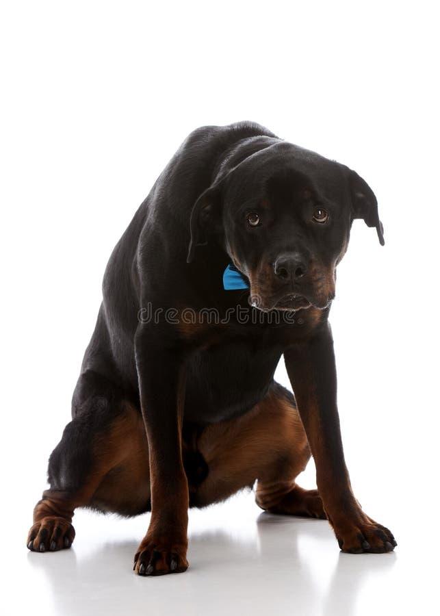 Ένοχο σκυλί! στοκ φωτογραφία