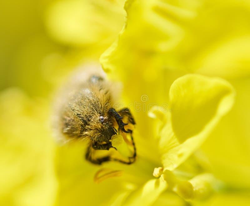 Έντομο που τρώει το λουλούδι canola στοκ εικόνα