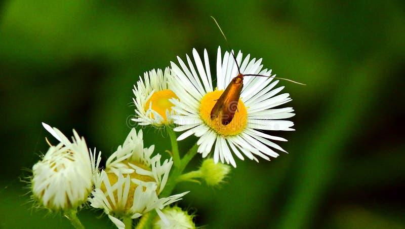 Έντομο στη μαργαρίτα στοκ εικόνα