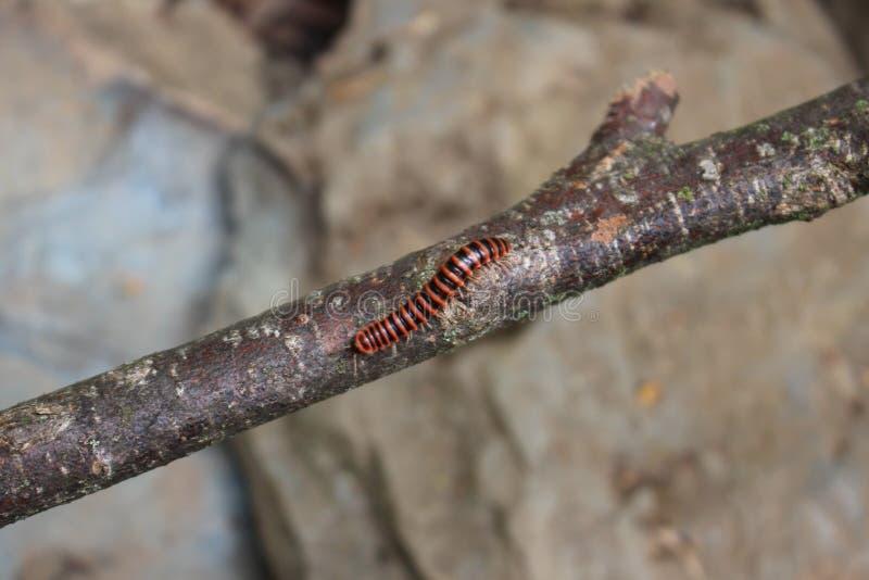 Έντομο στο ραβδί στοκ φωτογραφία με δικαίωμα ελεύθερης χρήσης