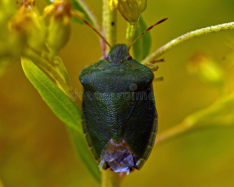 Έντομο της πράσινης ασπίδας, Palomena prasina στοκ εικόνες με δικαίωμα ελεύθερης χρήσης