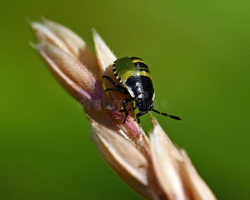 Έντομο της πράσινης ασπίδας, Palomena prasina nymphs στοκ φωτογραφία με δικαίωμα ελεύθερης χρήσης