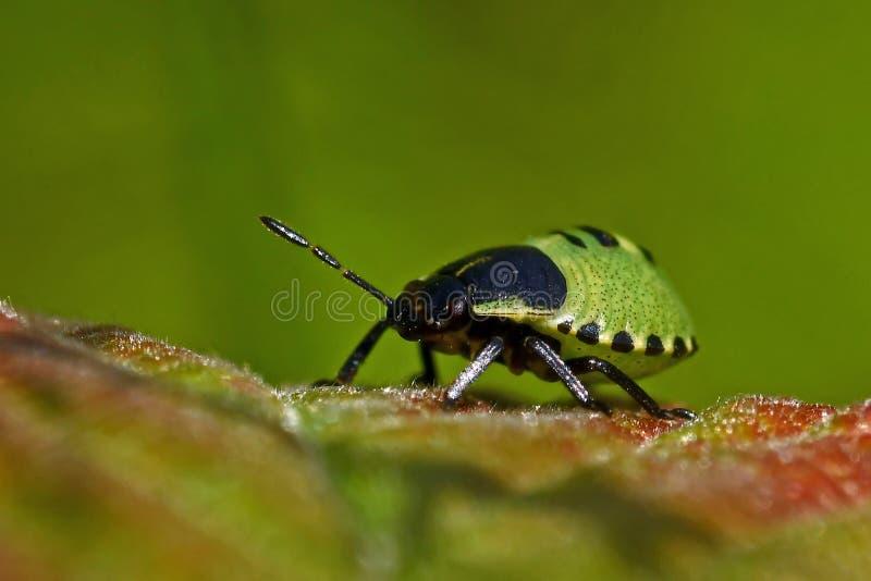 Έντομο της πράσινης ασπίδας, Palomena prasina nymphs στοκ φωτογραφία