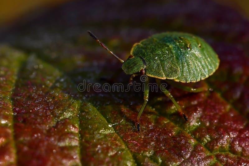Έντομο της πράσινης ασπίδας, Palomena prasina nymphs στοκ εικόνα