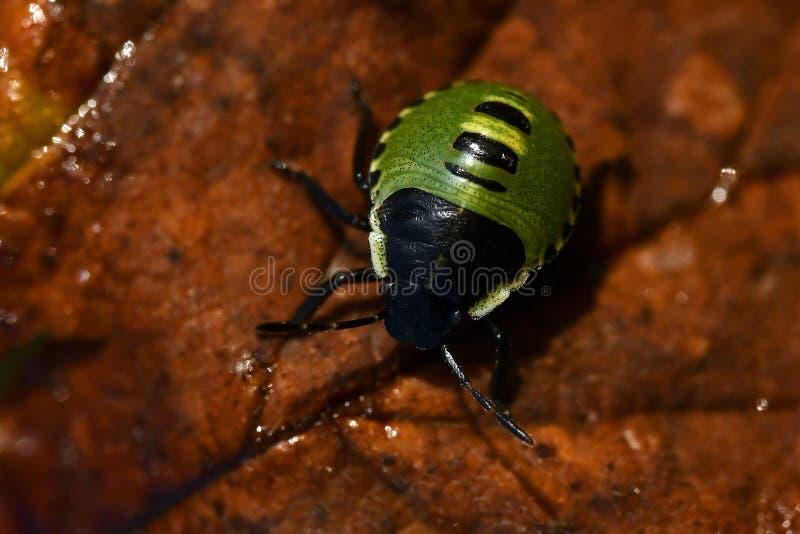 Έντομο της πράσινης ασπίδας, Palomena prasina nymphs στοκ εικόνες