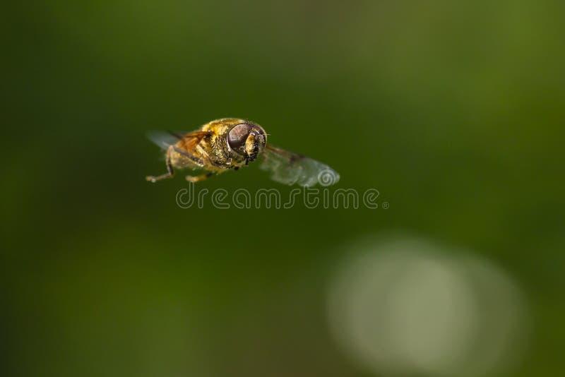 Έντομο Eristalis tenax μυγών κηφήνων κατά την πτήση μια ηλιόλουστη ημέρα στοκ φωτογραφίες με δικαίωμα ελεύθερης χρήσης