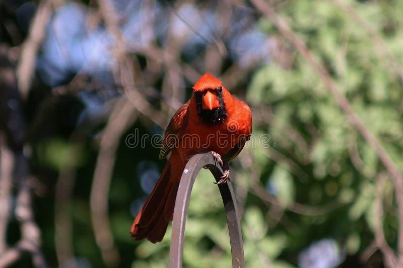 Έντονα κόκκινος καρδινάλιος στοκ εικόνες