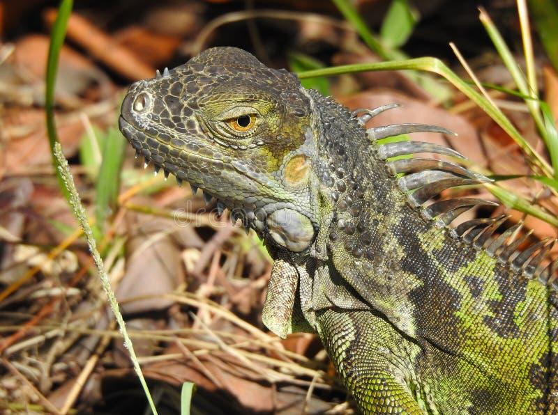 Έντονο φως Iguana στοκ φωτογραφία