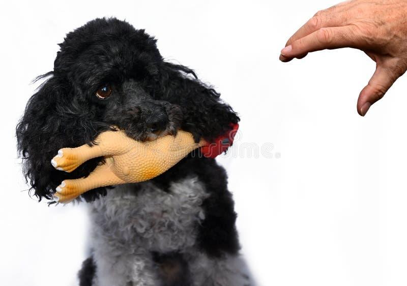 Έντρομος λίγο poodle στοκ εικόνα με δικαίωμα ελεύθερης χρήσης