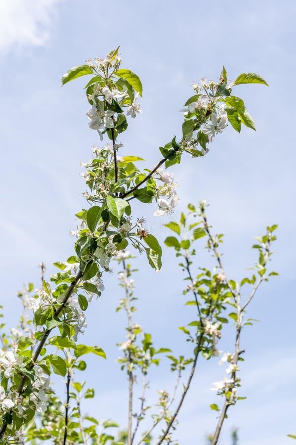 δέντρο άνοιξη κλάδων ανθών άνθισης μήλων στοκ εικόνα με δικαίωμα ελεύθερης χρήσης