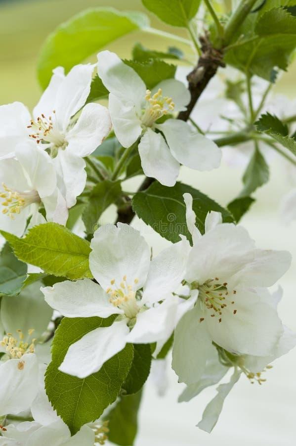 δέντρο άνοιξη κλάδων ανθών άνθισης μήλων στοκ εικόνες