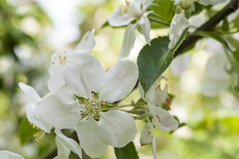 δέντρο άνοιξη κλάδων ανθών άνθισης μήλων στοκ φωτογραφία