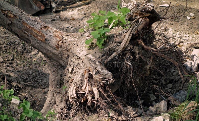 δέντρο που ξεριζώνεται στοκ φωτογραφία με δικαίωμα ελεύθερης χρήσης