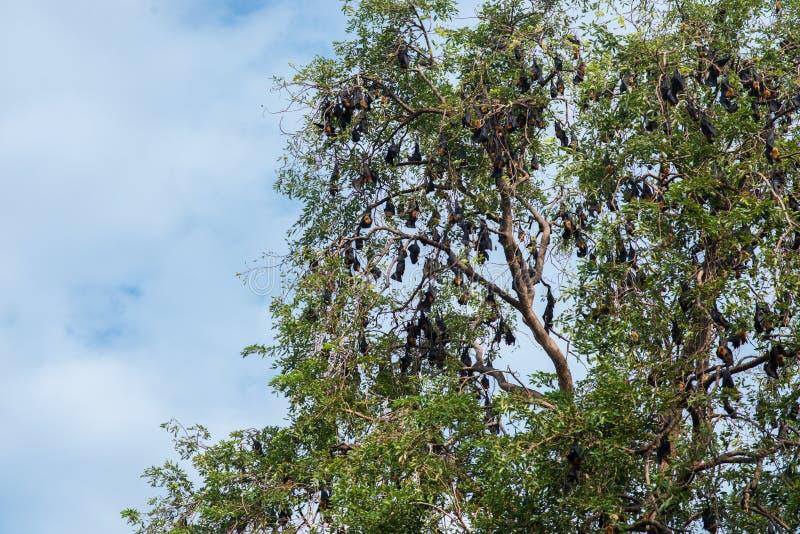 Ένωση αλεπούδων πετάγματος Lyle σε έναν κλάδο δέντρων στοκ φωτογραφία