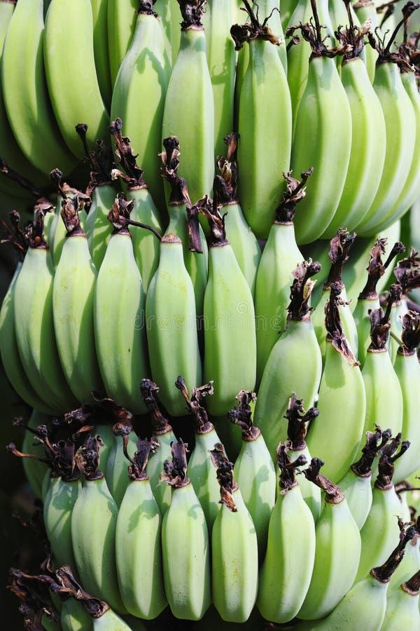 Ένωση δεσμών μπανανών από το δέντρο στοκ φωτογραφία με δικαίωμα ελεύθερης χρήσης