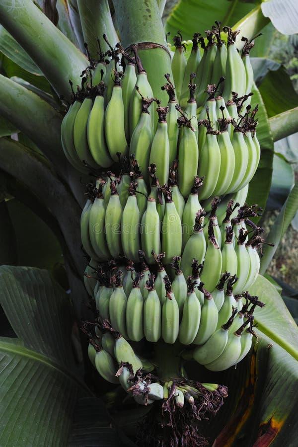 Ένωση δεσμών μπανανών από το δέντρο στοκ εικόνα