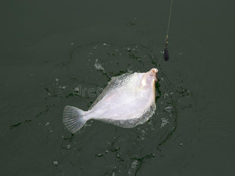 Ένωση πλευρονηκτών στο γάντζο αλιεύοντας στοκ φωτογραφίες με δικαίωμα ελεύθερης χρήσης