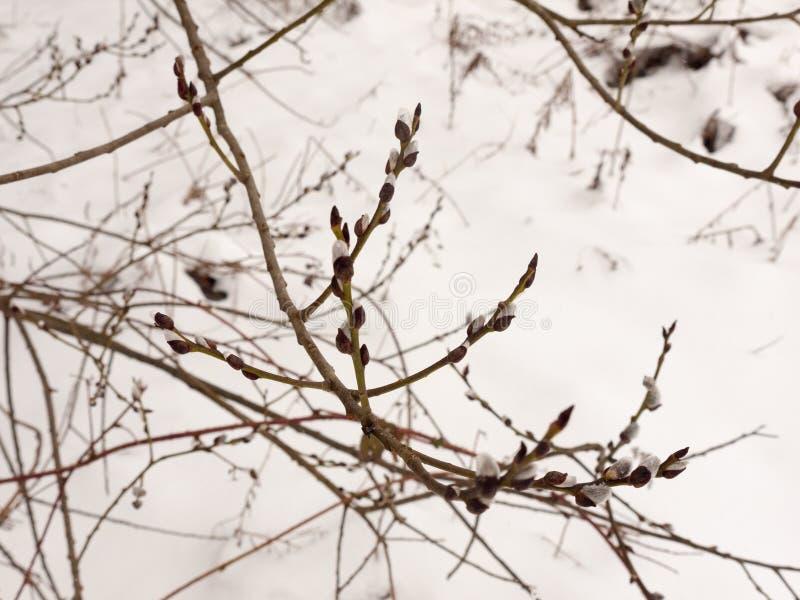 Ένωση των μικρών οφθαλμών στο δέντρο έξω από το χειμερινό χιόνι κλάδων στοκ φωτογραφία με δικαίωμα ελεύθερης χρήσης