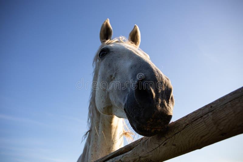 Έξοχη αστεία προοπτική που πυροβολείται ενός άσπρου αλόγου πίσω από το φράκτη του Αγροτική ζωή σε Αλμπέρτα, Καναδάς Μπερδεμένος κ στοκ εικόνες