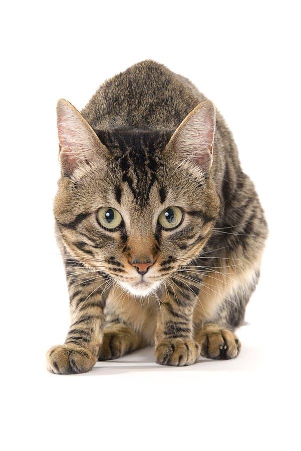 Έξυπνη γάτα έτοιμη να επιτεθεί στοκ εικόνες