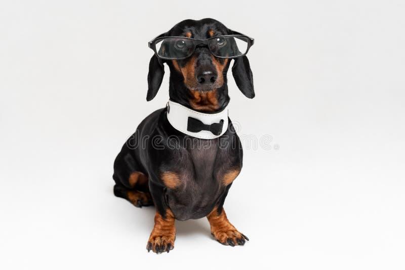 Έξυπνο ευφυές σκυλί dachshund με τα γυαλιά, δεσμός τόξων και υπαλληλικός, απομονωμένος στο γκρίζο υπόβαθρο στοκ εικόνες
