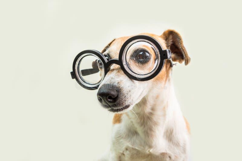 Έξυπνο χαριτωμένο τεριέ του Russell γρύλων σκυλιών στα γυαλιά καλό κατοικίδιο ζώο nerd πίσω σχολικό θέμα στοκ εικόνες