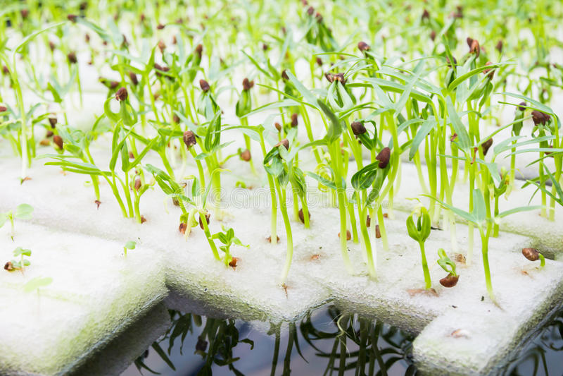 Έξω από τη γη καλλιέργεια ή υδροπονικός στοκ φωτογραφία με δικαίωμα ελεύθερης χρήσης