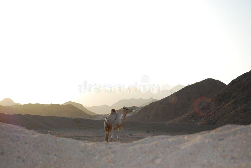 έρημος καμηλών στοκ εικόνες
