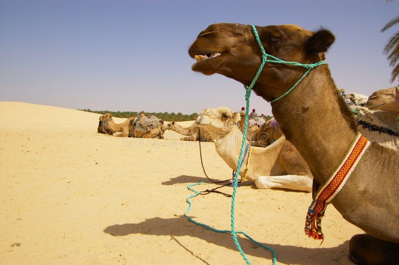 έρημος καμηλών στοκ εικόνα με δικαίωμα ελεύθερης χρήσης