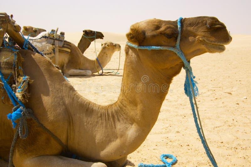 έρημος καμηλών στοκ φωτογραφία