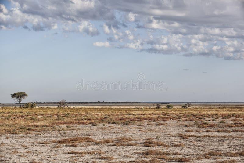 Έρημος andscape με ένα μόνο δέντρο αγκαθιών ομπρελών στοκ εικόνες