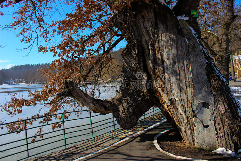 600-έτος-παλαιός δρύινο δέντρο στοκ φωτογραφίες με δικαίωμα ελεύθερης χρήσης