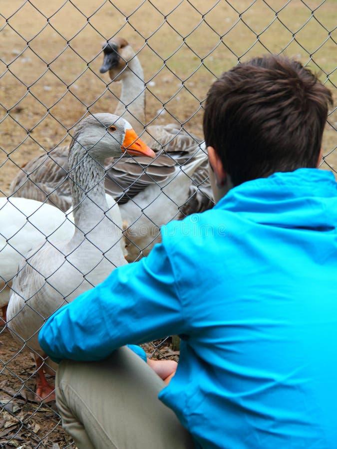 Έφηβος και χήνες στο ζωολογικό κήπο στοκ εικόνες