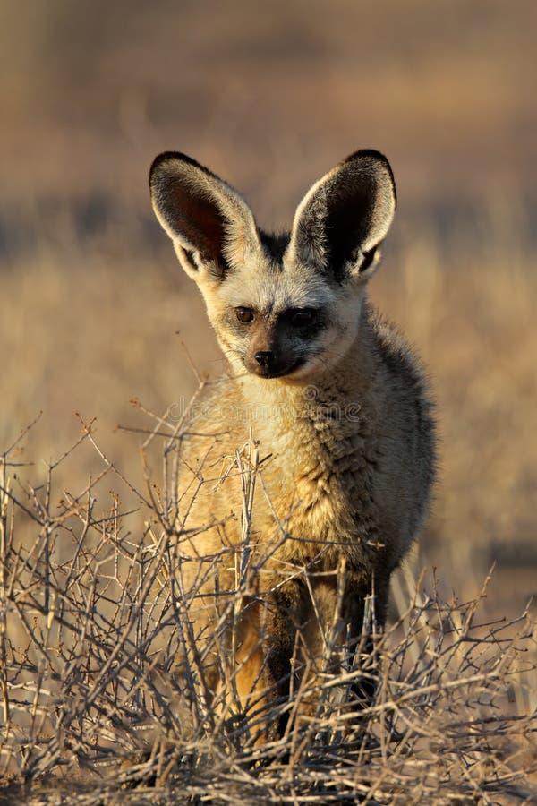 έχουσα νώτα αλεπού ροπάλ&omega στοκ φωτογραφία