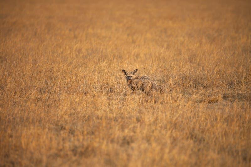 έχουσα νώτα αλεπού ροπάλ&omega στοκ εικόνα