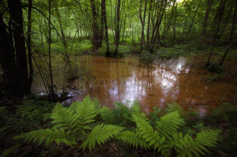 Έλος στο δάσος με τη βλάστηση στοκ φωτογραφίες