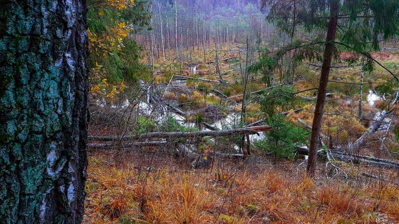 Έλος στο δάσος στοκ εικόνα με δικαίωμα ελεύθερης χρήσης