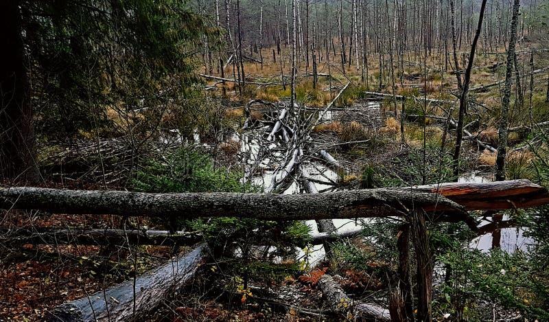 Έλος στο δάσος στοκ εικόνες με δικαίωμα ελεύθερης χρήσης