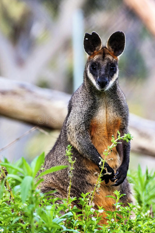 Έλος Wallaby, Wallabia δίχρωμο, που προσέχει εδώ κοντά, Αυστραλία στοκ φωτογραφία με δικαίωμα ελεύθερης χρήσης