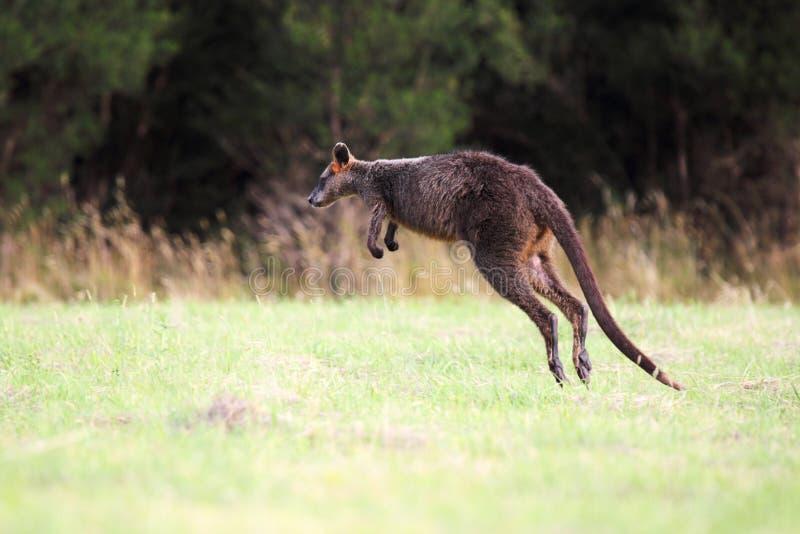 Έλος Wallaby (Wallabia δίχρωμο στοκ φωτογραφία με δικαίωμα ελεύθερης χρήσης