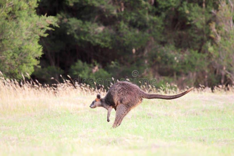 Έλος Wallaby (Wallabia δίχρωμο στοκ εικόνες