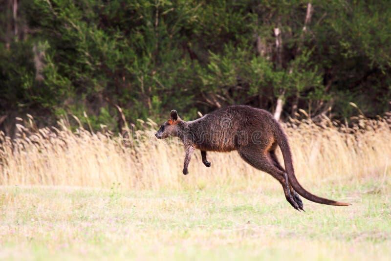 Έλος Wallaby (Wallabia δίχρωμο στοκ φωτογραφίες με δικαίωμα ελεύθερης χρήσης