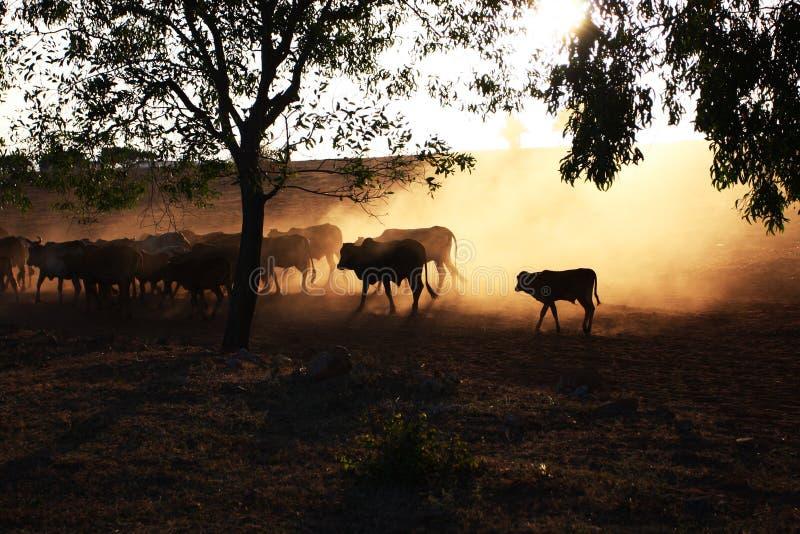ήλιος βοοειδών κάτω στοκ φωτογραφία με δικαίωμα ελεύθερης χρήσης